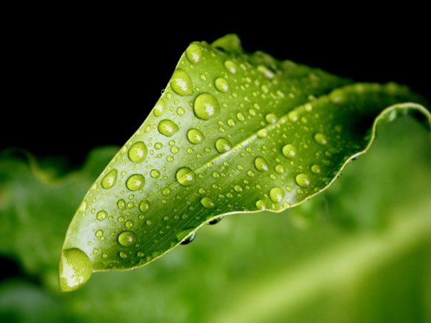 Leaf with water droplets
