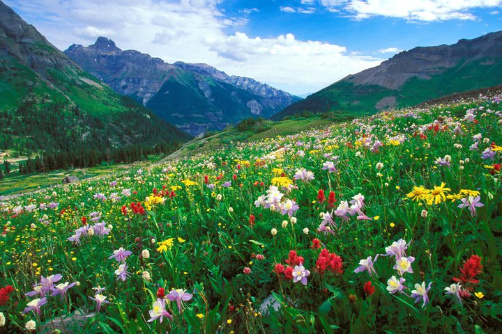 Mountain field with wild flowers
