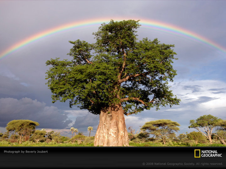 Rainbow over a baobab tree