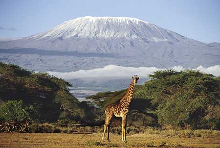 Giraffe with Mount Kilimanjaro in the background
