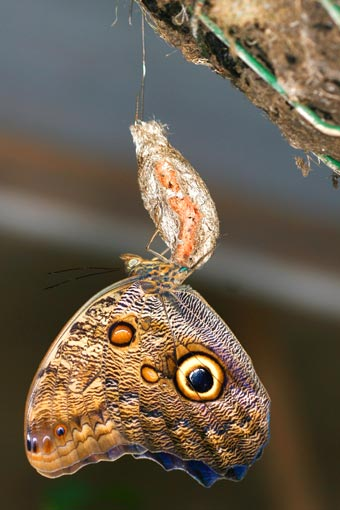 Butterfly emerging from its cocoon