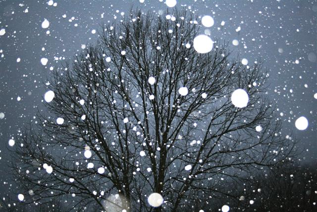 Snow fall on a maple tree