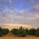 A San Joaquin Valley orange grove