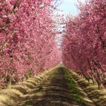 Central Valley trees in bloom on a farm