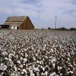 A San Joaquin Valley cotton farm.