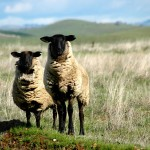 Sheep in the San Joaquin Valley