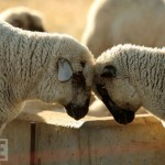 Sheep butt heads in California's Central Valley