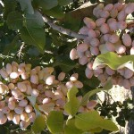 Almonds almost ready for harvest