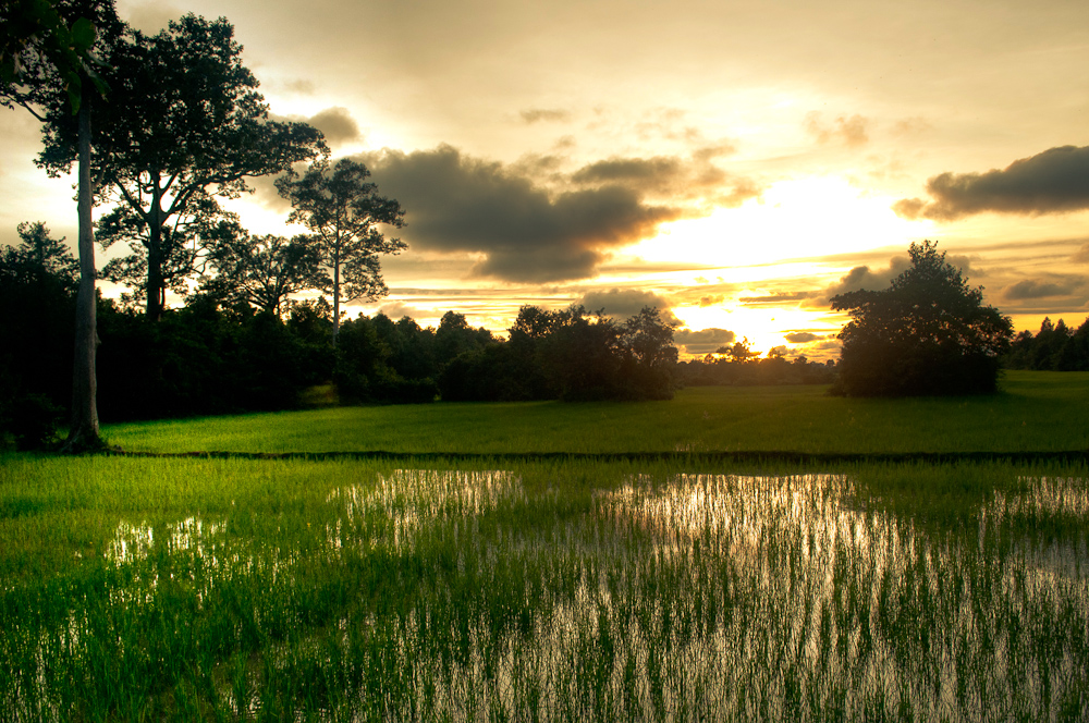 Cambodia rice fields