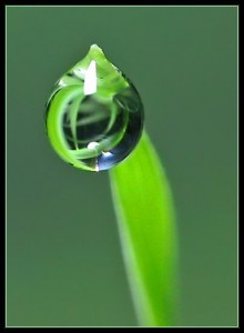 Water drop on the tip of a leaf