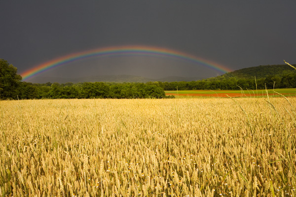 Wheat field and rainbow