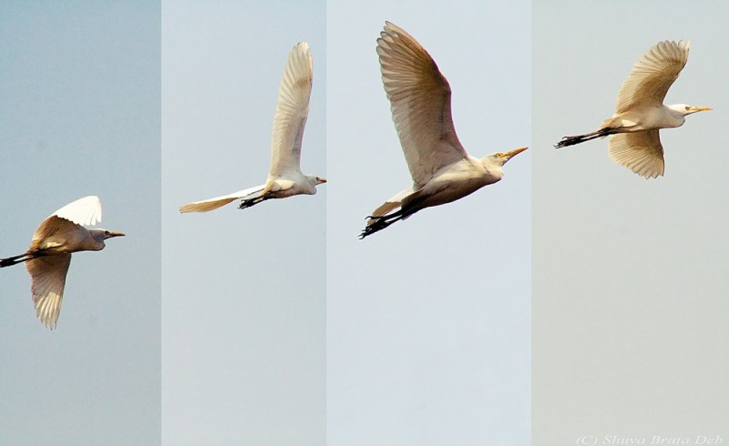 Bird inflight - a sequenced shot.