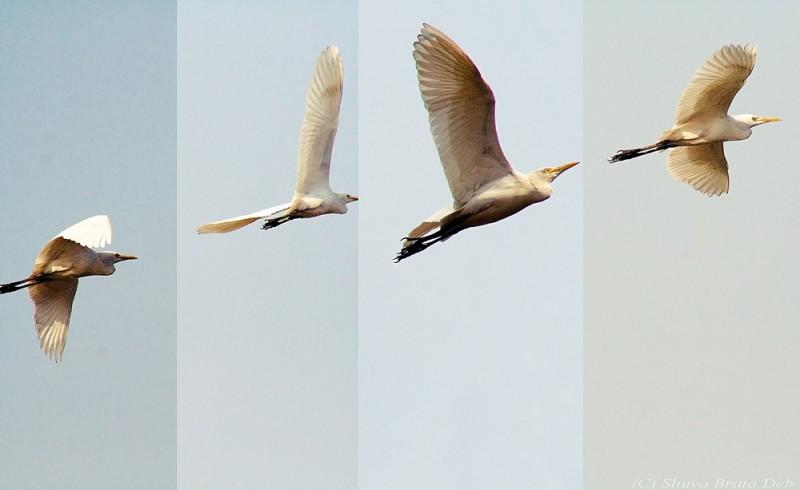 Bird inflight - a sequenced shot.
